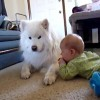 Un samoyedo jugando por primera vez con un nio