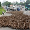 5000 patos van camino del estanque