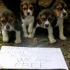 La polica precinta en Italia un criadero con 2.500 beagles para la diseccin en vivo con fines cientficos