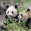 Po y Dede, los osos panda de Madrid, viajan a China para poder reproducirse