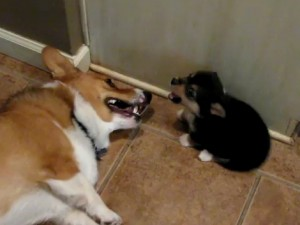 Cachorro de corgi vs corgi adulto