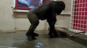 Gorila bailando break dance en el zoo