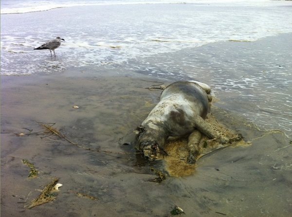 Encontrado un animal no identificado despues del paso del huracan Irene