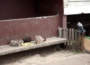 Un cuervo intenta robar comida a unos gatos