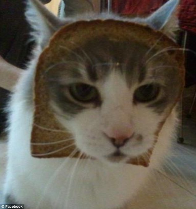 gatos breading