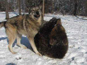 La gran amistad entre un lobo y un oso