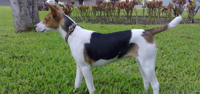Fox Terriers Pelo Duros Pictures