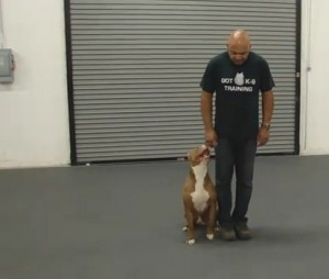 Precioso pit bull del K9 exhibe sus habilidades en Las Vegas