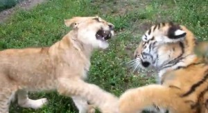 cachorro tigre jugando con cachorro leon