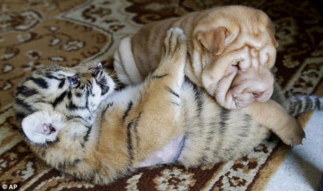 tigre y perro