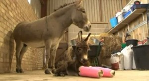 Veterinarios ayudan a un burro prematuro a caminar gracias a unos soportes en sus patas