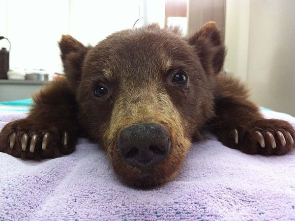rescate oso california