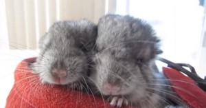 dos chinchillas descansando