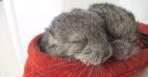 dos chinchillas durmiendo en zapato