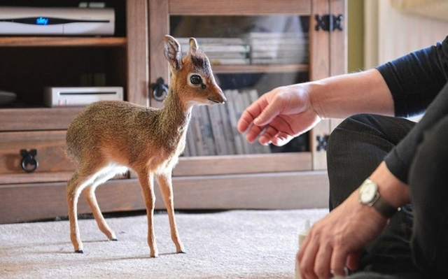 mini-antilope
