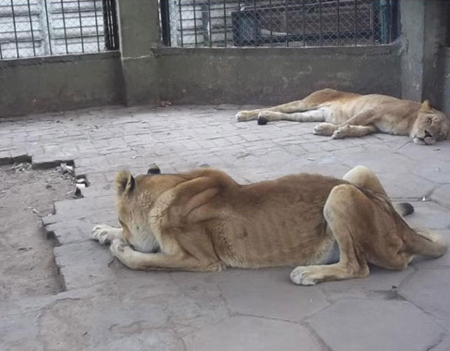 leones-zoo-colon-argentina