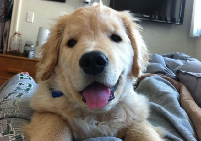 Ray-Charles-golden-retriever