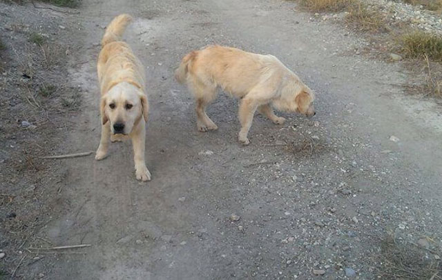 abandona-golden-retrievers-lorca-murcia