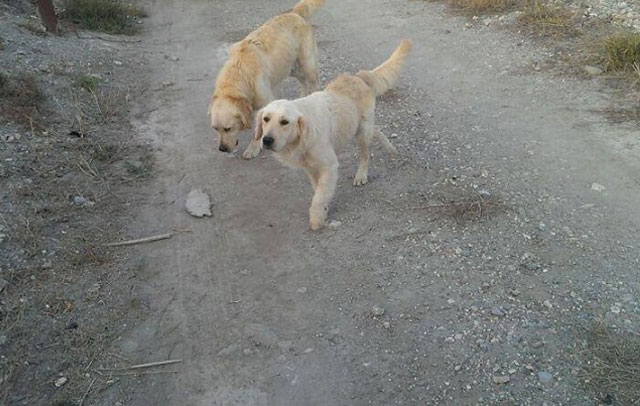 golden-retrievers-abandonados-en-lorca