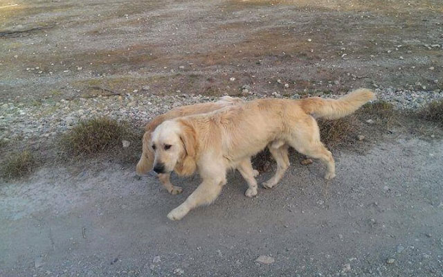 golden-retrievers-abandonados-lorca-murcia