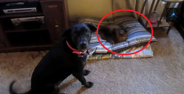video-gatos-roban-cama-perros