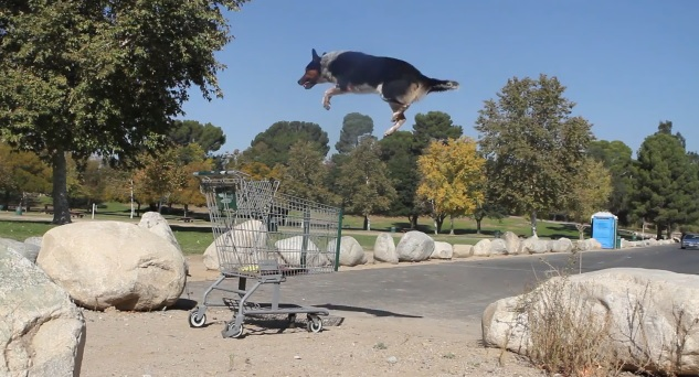 border collie hace parkour