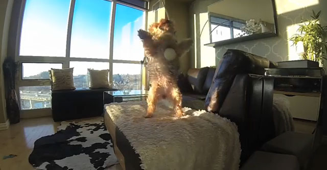 video-yorkshire-terrier-jugando-a-camara-lenta