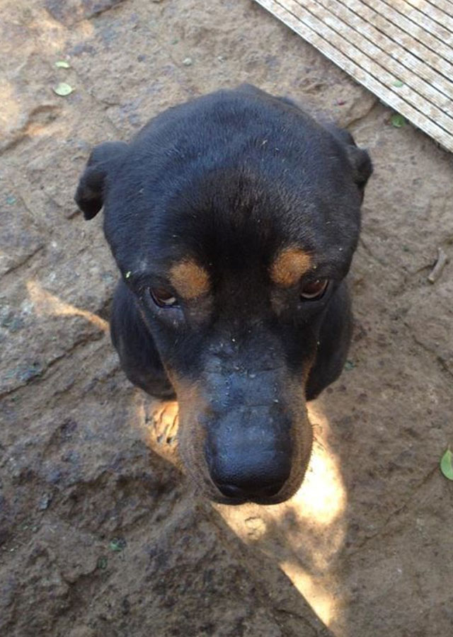 rottweiler-tiny-the-sanctuary-taiwan
