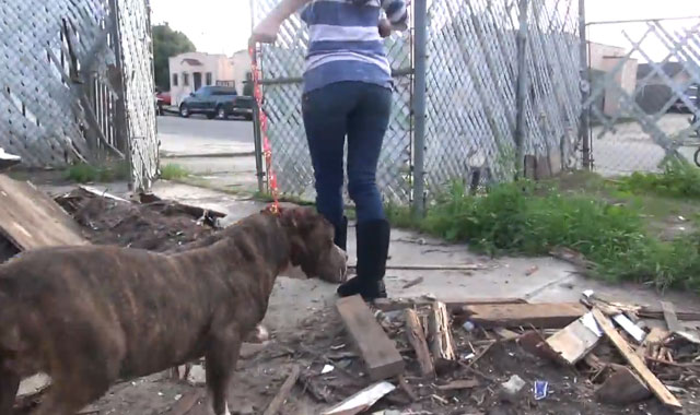 hope-for-paws-rescata-pit-bull