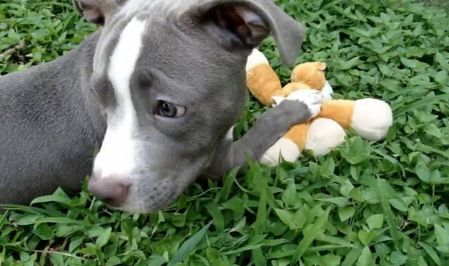 Ransom-pit-bull-sin-patas