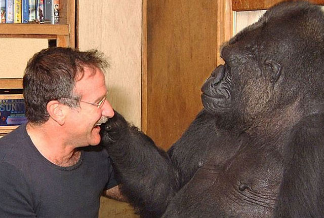 koko-el-gorila-amigo-de-robin-williams
