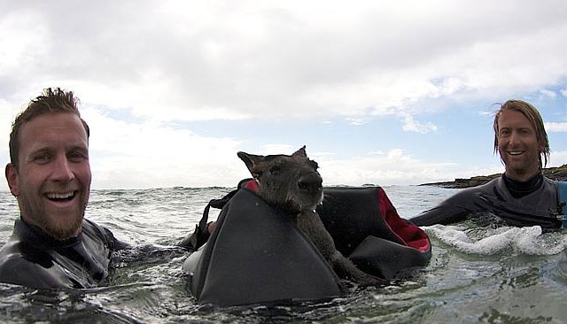 wallaby-salvado-por-surfistas-australia