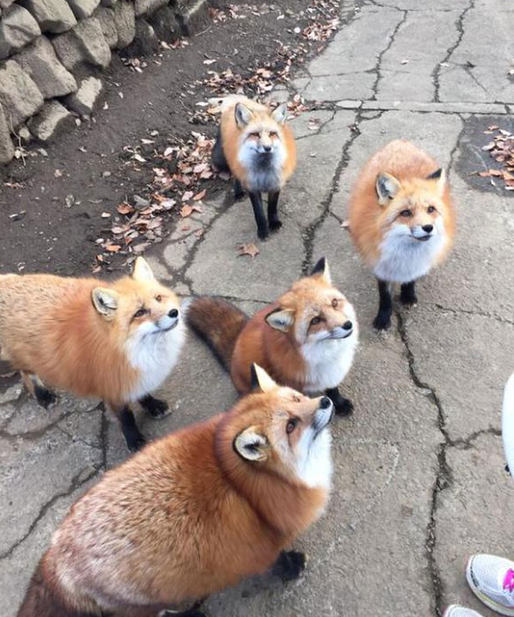 Zao-Fox-Village-fotos-zorros