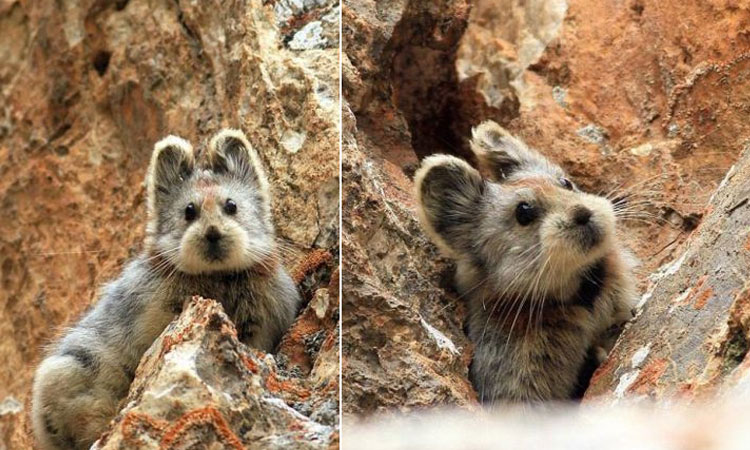 fotos-Ili-pika-conejo-magico-china