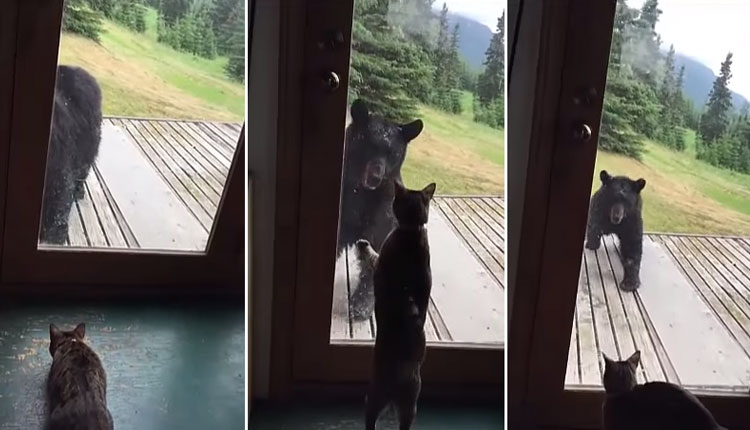 video-gato-asusta-oso-alaska