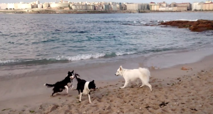 Pastor blanco suizo molesta perros border collie playa