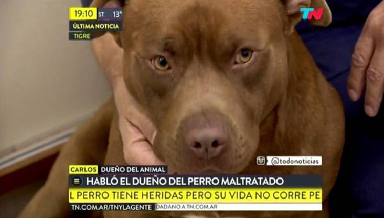 pit bull peter buenos aires