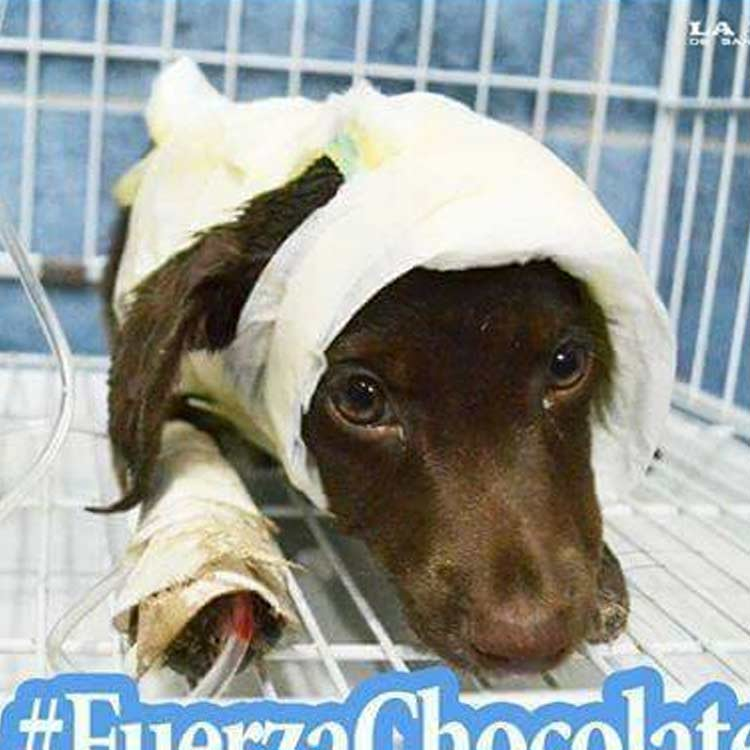 chocolate-cachorro-argentina