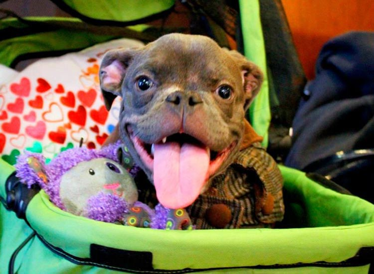 pit-bull-enanismo