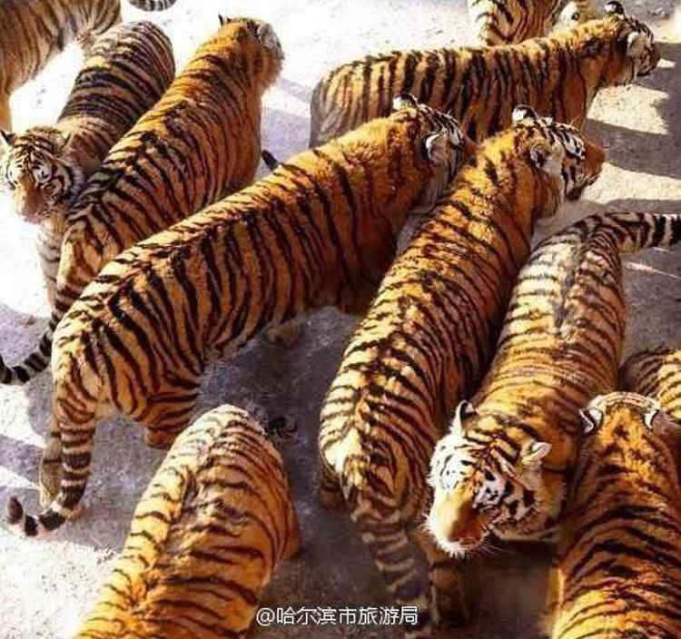alimentan tigres zoo china