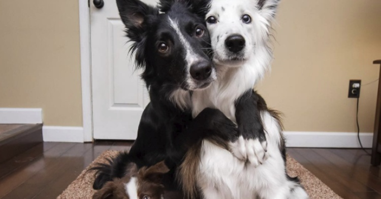 border collies se abrazan