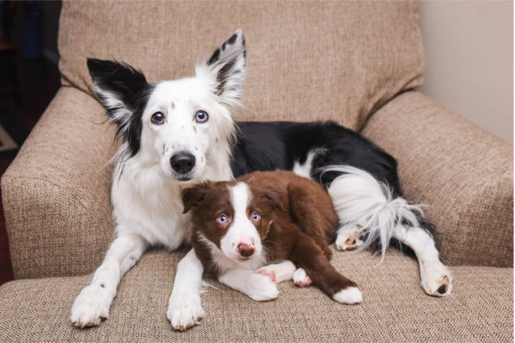 border collies se dan abrazos