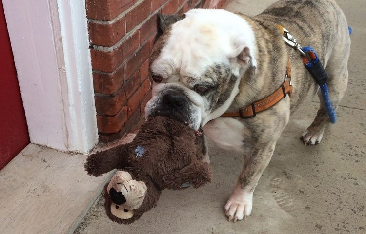 bulldog ingles anciano adora peluches