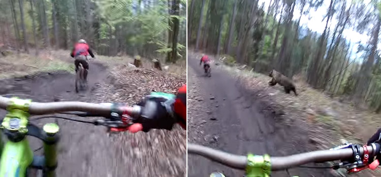 oso persigue ciclista mountain bike eslovaquia