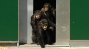 Unos chimpances liberados tras 30 anos de cautiverio en un laboratorio