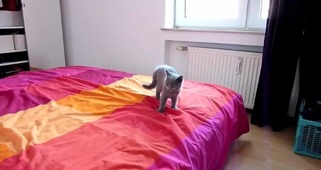 nyan cat real