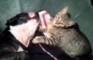 Un gato jugando con un boston terrier