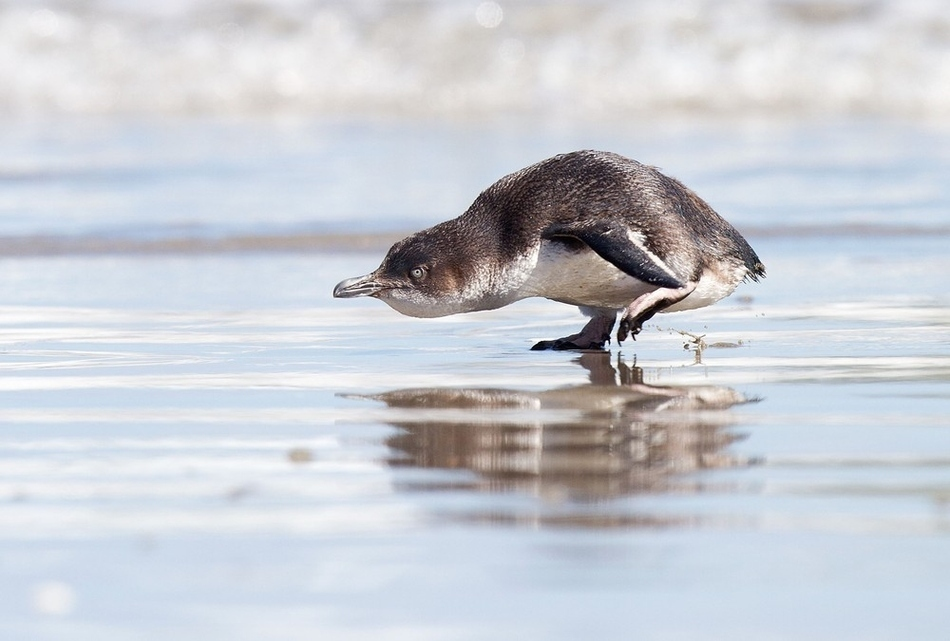 pinguino-playa-corre