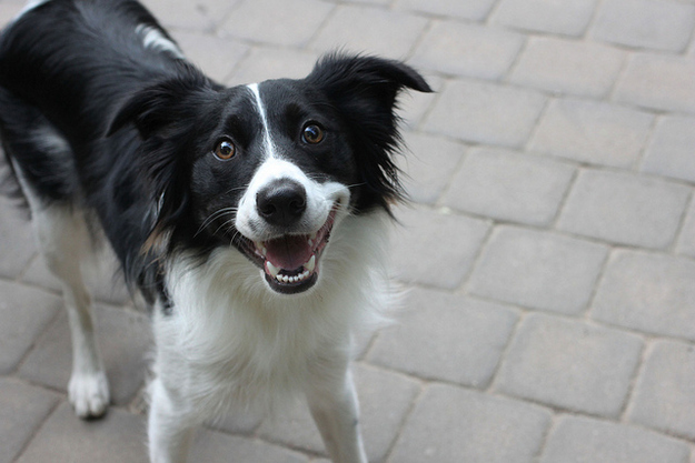border collie riendo