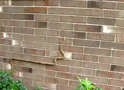 Una serpiente escalando por una pared